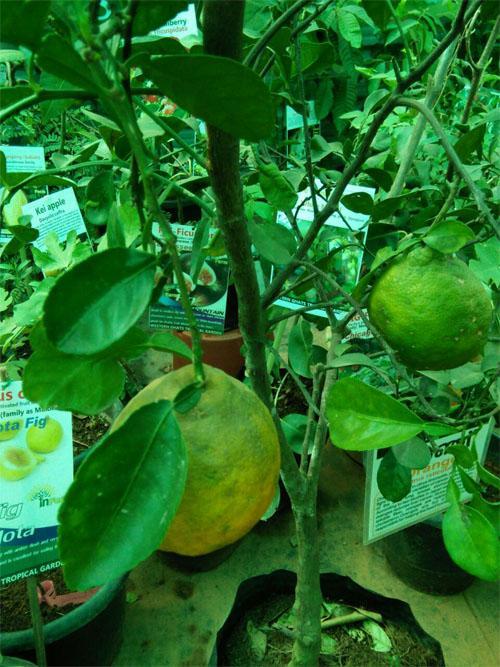 Tropical musambi